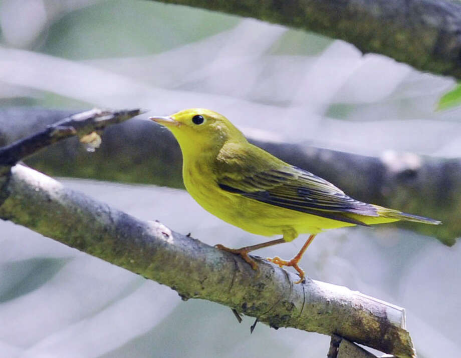 A Yellow Warbler perched on the branch of a tree in the Holly Grove section of Greenwich Point, Conn., Friday, Aug. 1, 2014. Photo: Bob Luckey / Greenwich Time