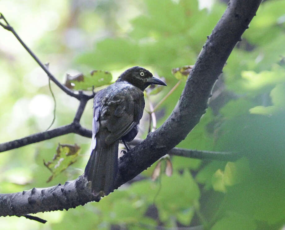 A common grackle perched in a tree in a wooded area at Greenwich Point, Conn., Friday, Aug. 1, 2014. Photo: Bob Luckey / Greenwich Time