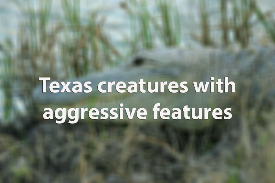 Everything is bigger in Texas, including the number of creatures that bite and sting.Click through the slideshow to see Texas creatures with aggressive features. Photo: San Antonio Express-News