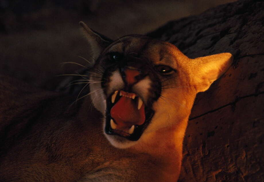 Mountain lions don't recognize humans as prey, but if this cat is starving or young, it may recognize pure instinct. Mountain lions are common in South Texas. Photo: DEA / P. JACCOD, Getty Images / De Agostini Editorial