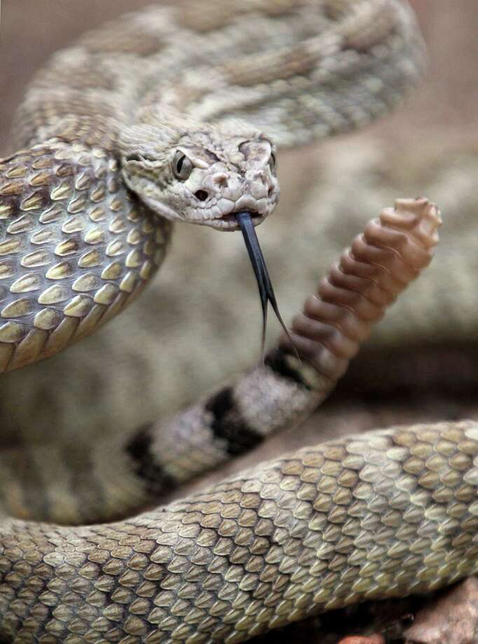 There are nine different types of rattlesnakes that call Texas home, and all are poisonous and dangerous. Photo: Cathleen Allison, AP / Las Vegas Review-Journal