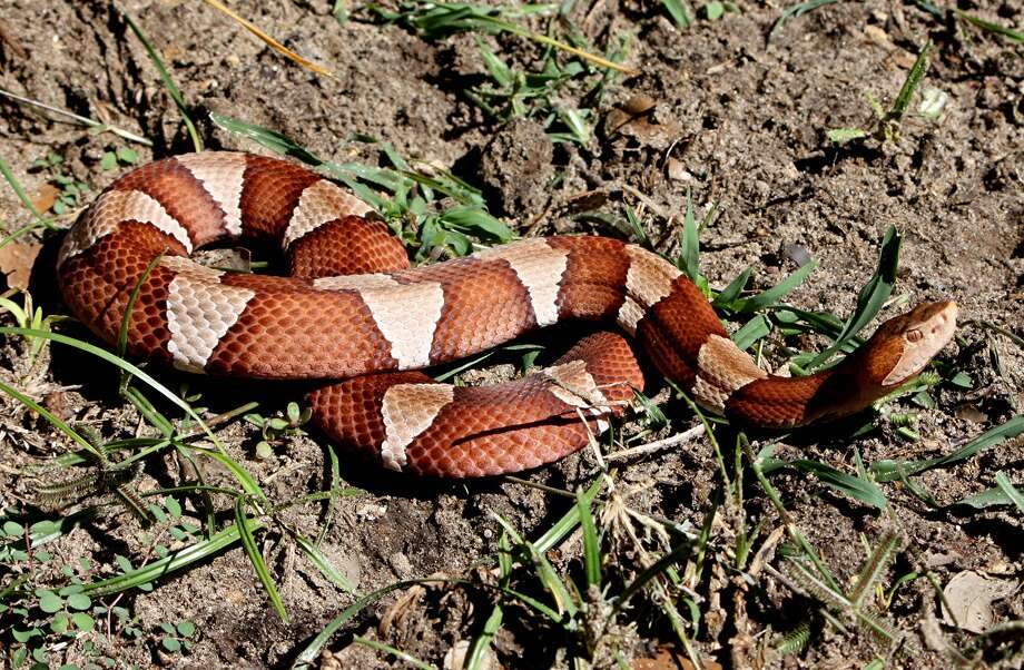 The broad-banded copperhead, named for the color, is a venomous pit viper.  Photo: Blaine Eaton, Courtesy