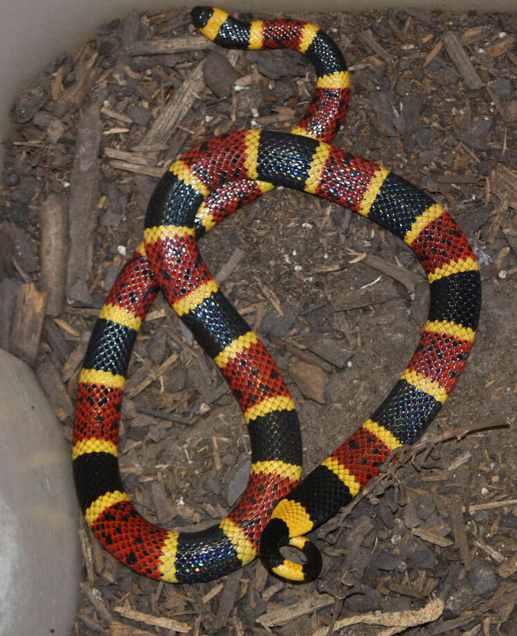 "The Texas coral snake is small but poisonous, and often confused for the king or scarlet snake. One way to be sure is to remember this saying, ""Red into black, venom lack; red into yellow, kill a fellow."" Photo: Courtesy Photos"