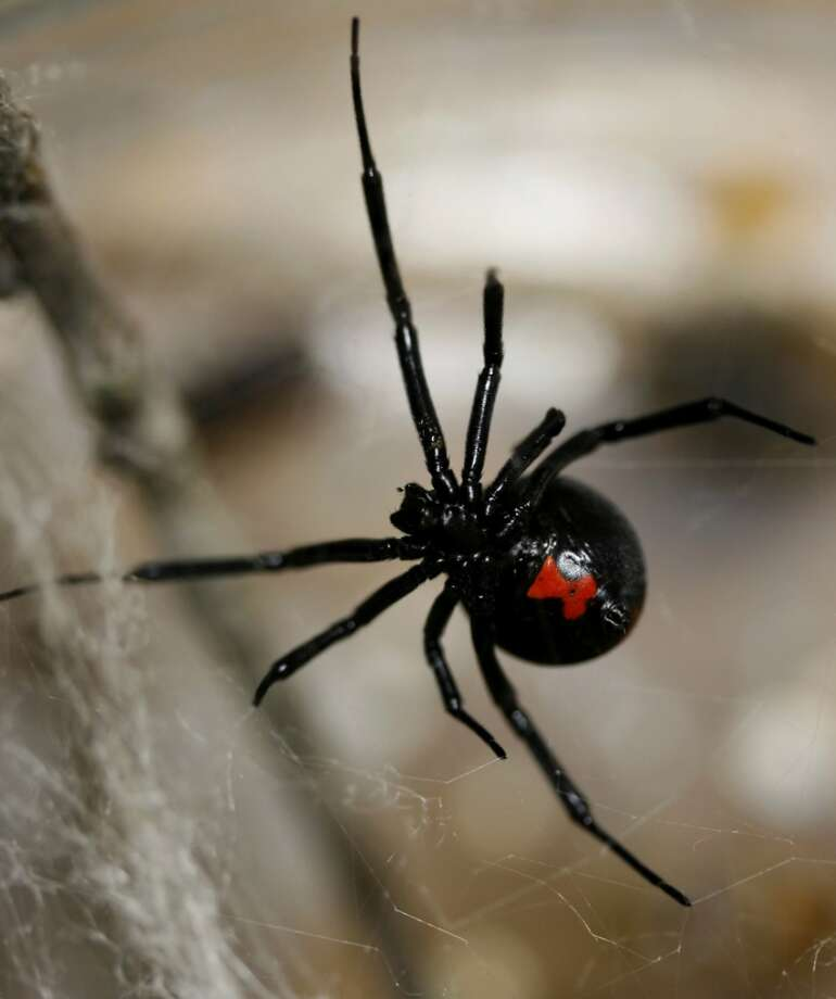 The black widow spider is one of only two poisonous spiders in Texas. The bite can be extremely painful and require immediate medical attention.