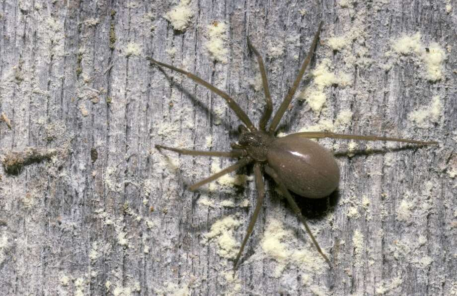 The Texas brown recluse is very stealth in its defense. The initial bite may be painless, leaving the victim unaware. The pain may not be noticeable for several hours. In some cases, victims may suffer from extreme tissue damage.