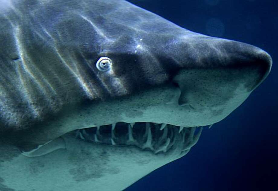 The Gulf of Mexico has a massive population of different species of sharks, including the aggressive tiger shark. Shark attacks are rare in Texas, and in 2012, no attacks were reported. Photo: Michael Sohn, AP