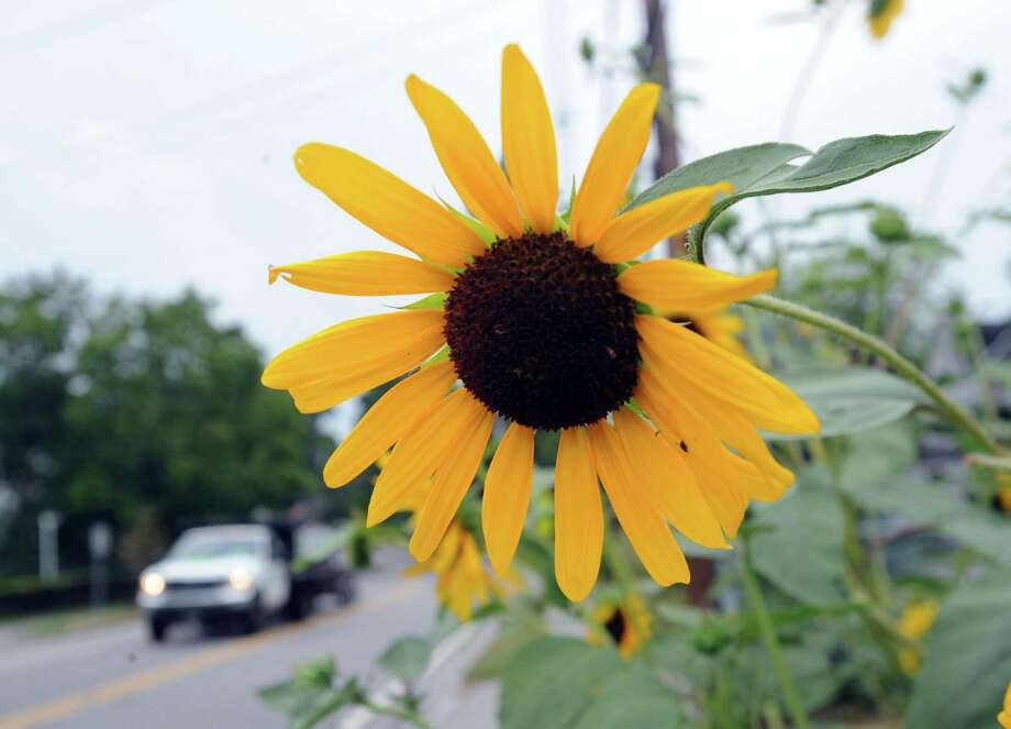 Sunflowers bloom in the front yard of an Orchard Street home in the Cos Cob section of Greenwich, Conn., Friday, Aug. 1, 2014. Photo: Bob Luckey / Greenwich Time