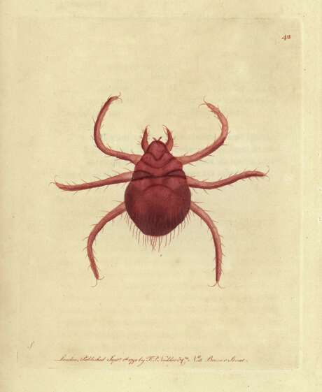 Chiggers are tiny, almost invisible mites. Photo: SSPL Via Getty Images / SSPL/Florilegius