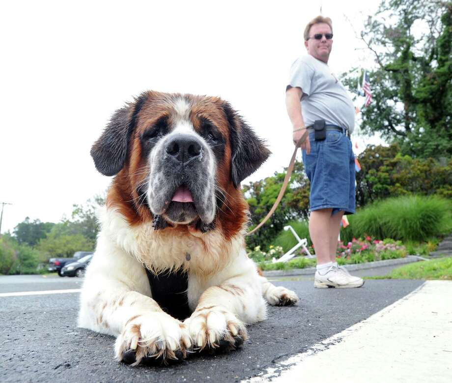 Oreo, a St. Bernard belonging to Tom Schmaling of Greenwich, right, takes a break after a walk in Byram Park, Greenwich, Conn., Saturday morning, Aug. 2, 2014. Photo: Bob Luckey / Greenwich Time