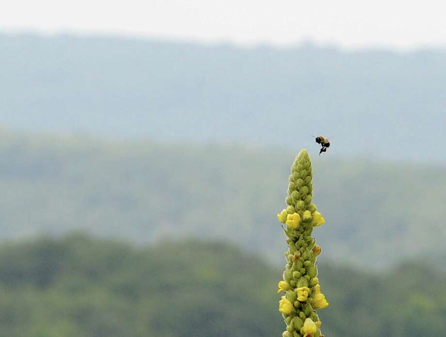 A bee buzzes by the yellow-flowered stem of a common mullein at a roadside overlook in Bridgewater, Conn. Saturday, Aug. 2, 2014. Photo: Tyler Sizemore / The News-Times