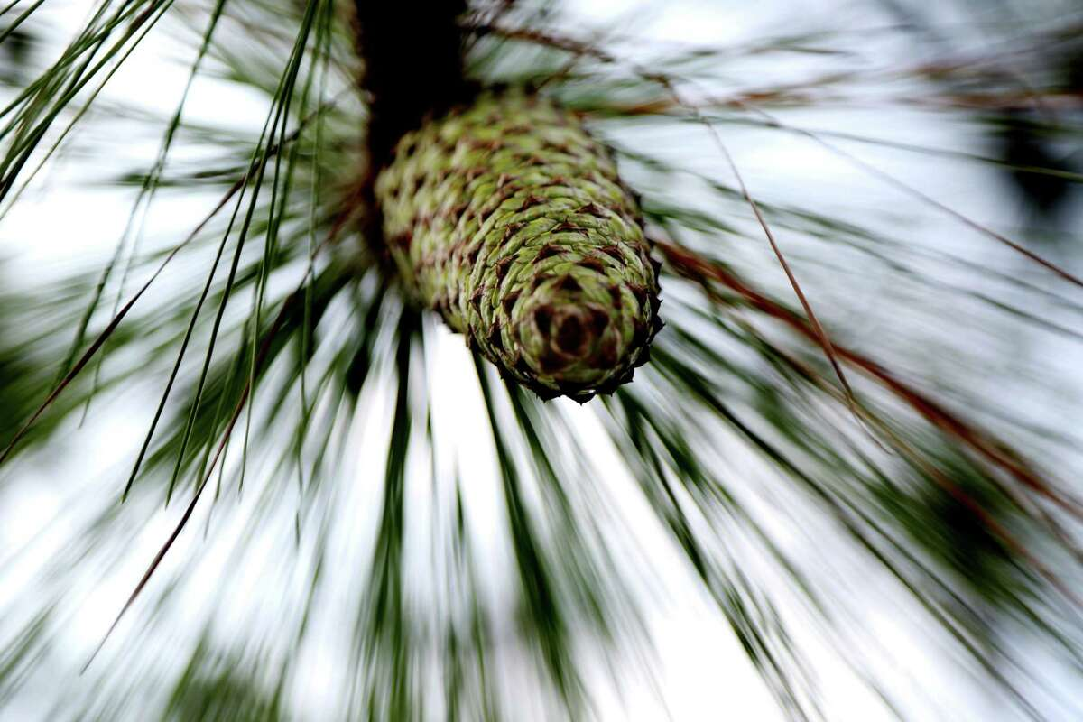 To restore the longleaf-pine forest at Roy E. Larsen Sandyland Sanctuary, the Nature Conservancy of Texas removed invasive species and held planned burns.