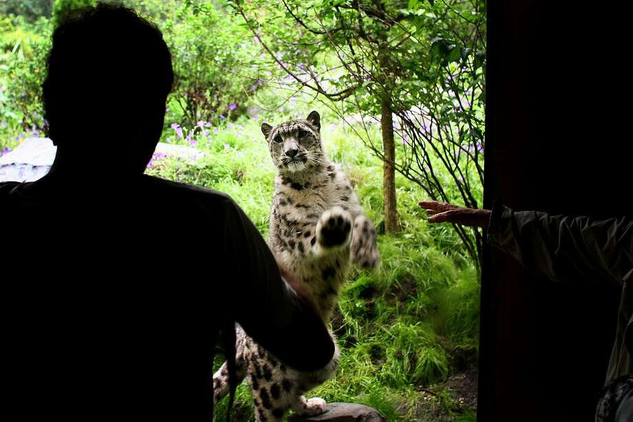 What part of 'I want to come in' don't you understand? A snow leopard scratches on the glass to the delight of zoo visitors at the newly opened Allison Maher Stern Snow Leopard Exhibit at the Central Park Zoo in New York. Photo: Chris McGrath, Getty Images