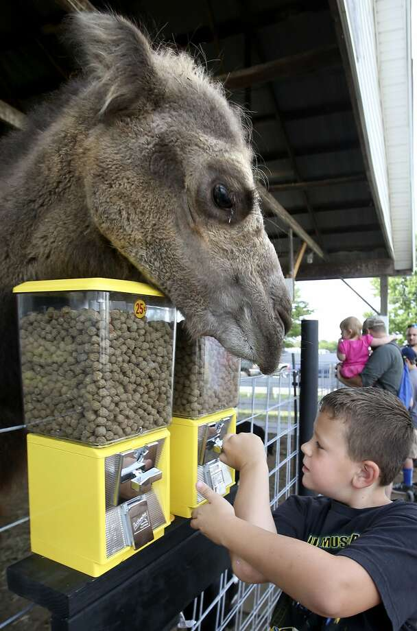 That's right, kid. Put the quarter in and turn: Sampson the Bactrian camel watches in anticipation 