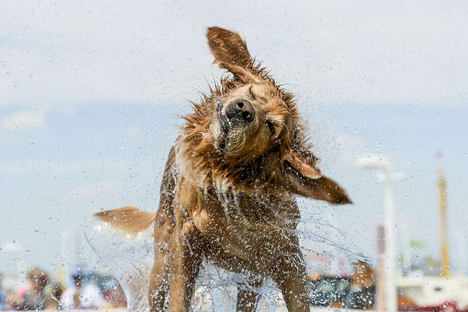 Splash Dog contestant Moses shakes himself off, causing a brief shower at the Larimer County Fair 