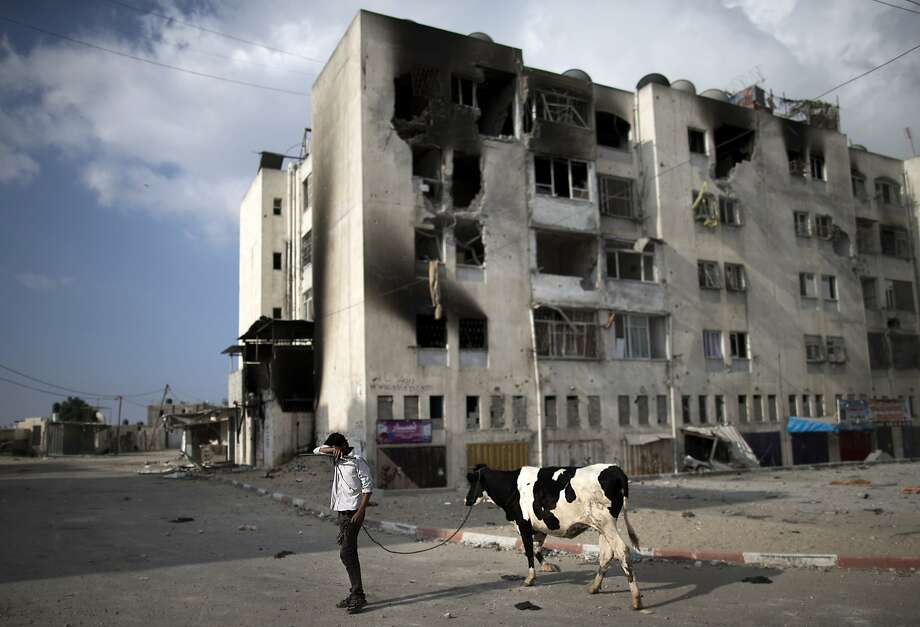 War zone bovine: A Palestinian man leads a dairy cow by shelled buildings in Beit Lahia,