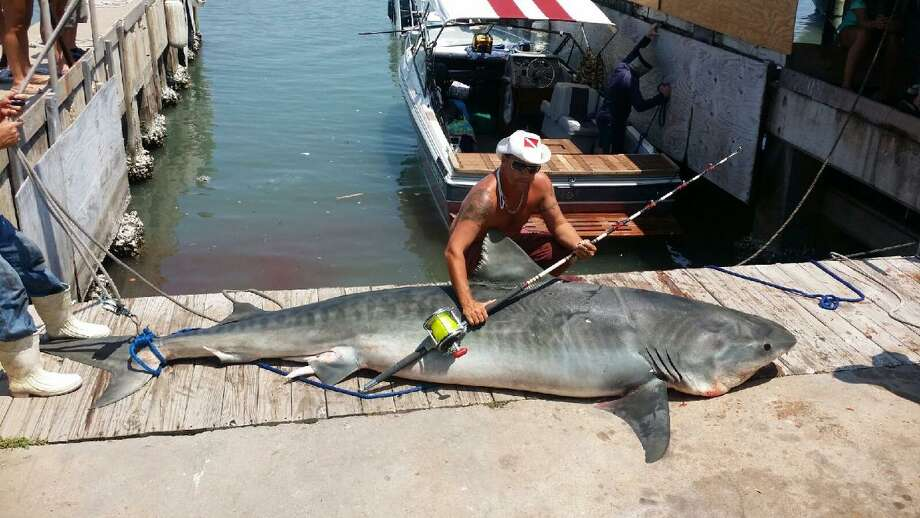 "Ryan Spring caught an 809-pound, 12' 7"", tiger shark off the coast of Port Aransas on August 3, 2014. Photo: Courtesy, Ryan Spring"