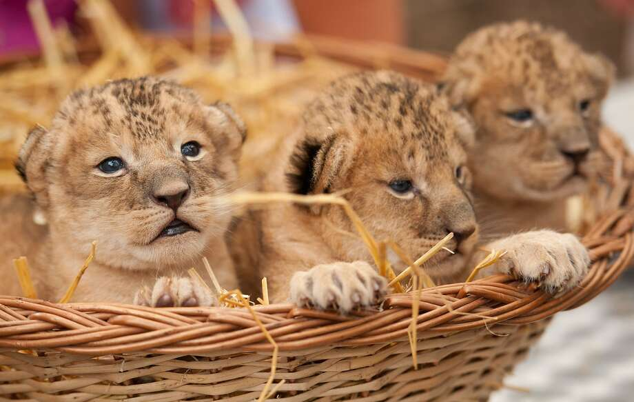 Tired of sending gift baskets of gourmet fruit to your out-of-state loved ones? Order Harry And David's new Basket O' Growls®, containing three individually packed lion cubs nested in hay. (Leon [left], Lonka and Leonora were born about two weeks ago at Serengeti Zoo in Hodenhagen, Germany.) Photo: Philipp Schulze, AFP/Getty Images