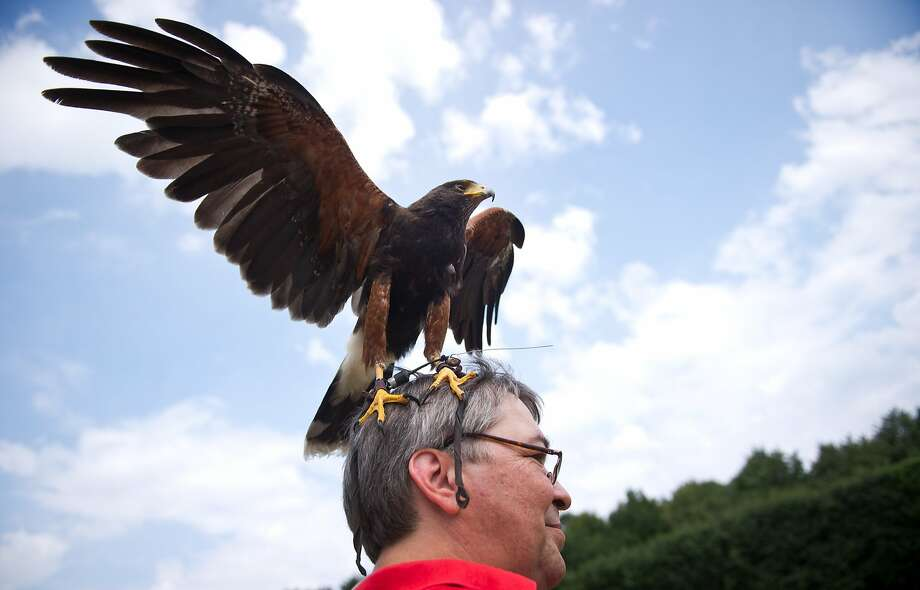 If I can pull this off, I'll eat for weeks! A Harris's Hawk lands on a visitor's head during a raptor show at the zoo in Berlin. Photo: Daniel Naupold, AFP/Getty Images
