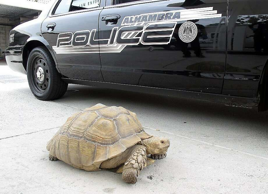 What do you mean I was speeding?!Police pull over 150-pound tortoise in Alhambra, Calif. The reptile was lifted into a patrol car and taken to the station, before being transported to Los Angeles County Animal Care and Control in Downey. Photo: Associated Press