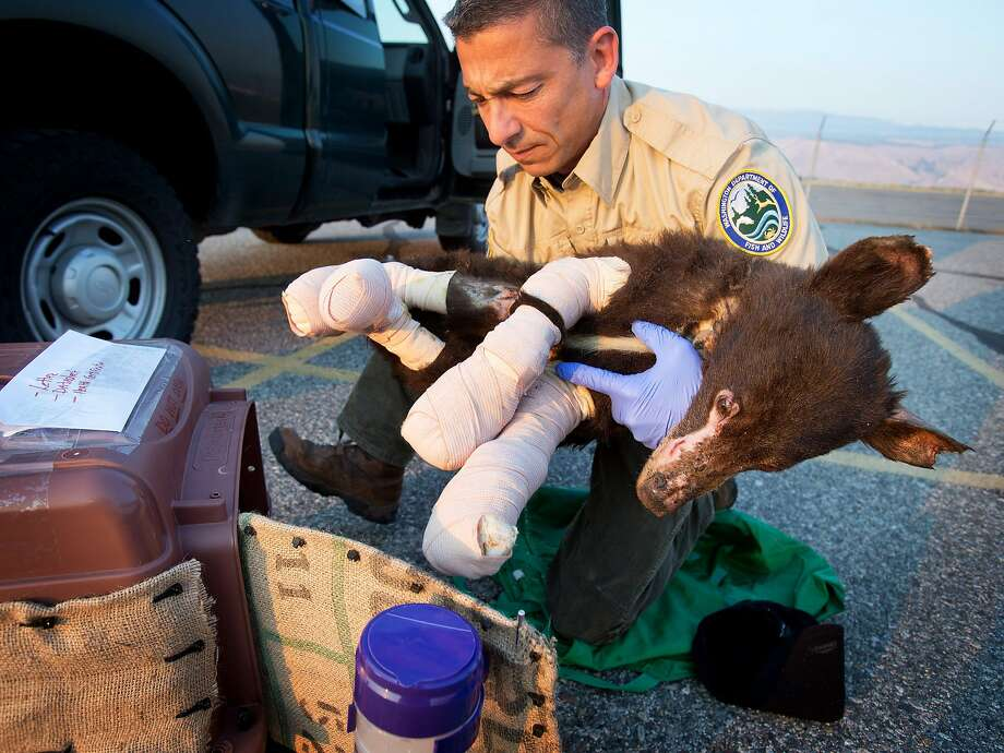 Cinder, a badly burned, 35 pound, female bear cub, is put into a crate by Washington State Fish and Wildlife bear and cougar specialist Rich Beausoleil at Pangborn Memorial Airport in East Wenatchee, Wash., on Monday, Aug. 4, 2014. The cub was flown in a small, private airplane piloted by Bill Inman of Seattle, headed for a wildlife rehabilitation location in Lake Tahoe. The bear was burned recently in a wildfire in the Methow Valley. (AP Photo/The Wenatchee World, Don Seabrook) Photo: Don Seabrook, Associated Press