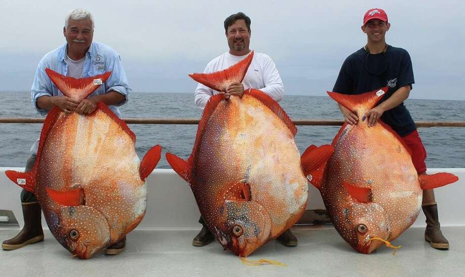 Armando Castillo, Joe Ludlow and Travis Savala hold their rare opah catches, weighing 151, 180 and 124 pounds respectively. The fish were caught at the same time Friday, about 125 miles southeast of San Diego. Photo: Courtesy/Excel Long Range Sportfishing