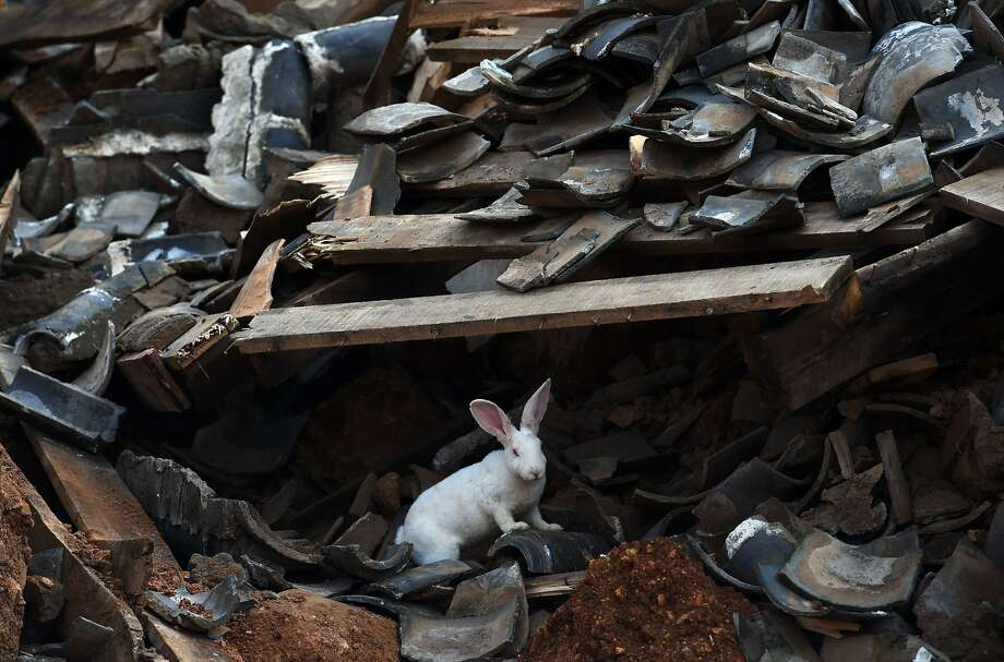 Survivor rabbit: A tame bunny searches for food in the ruins of a collapsed house in Longtoushan, China's 