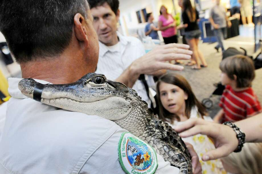 Electrician's tape plays an important role in the Reptile Experience: A 5-foot-long alligator rests its head on