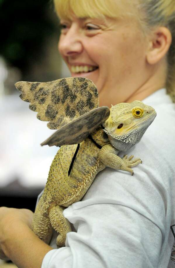 The Daenerys Targaryen of Palm Bay, Fla.: Dawn Taber allows Toothless, her winged Bearded Dragon, to crawl up her shoulder at 