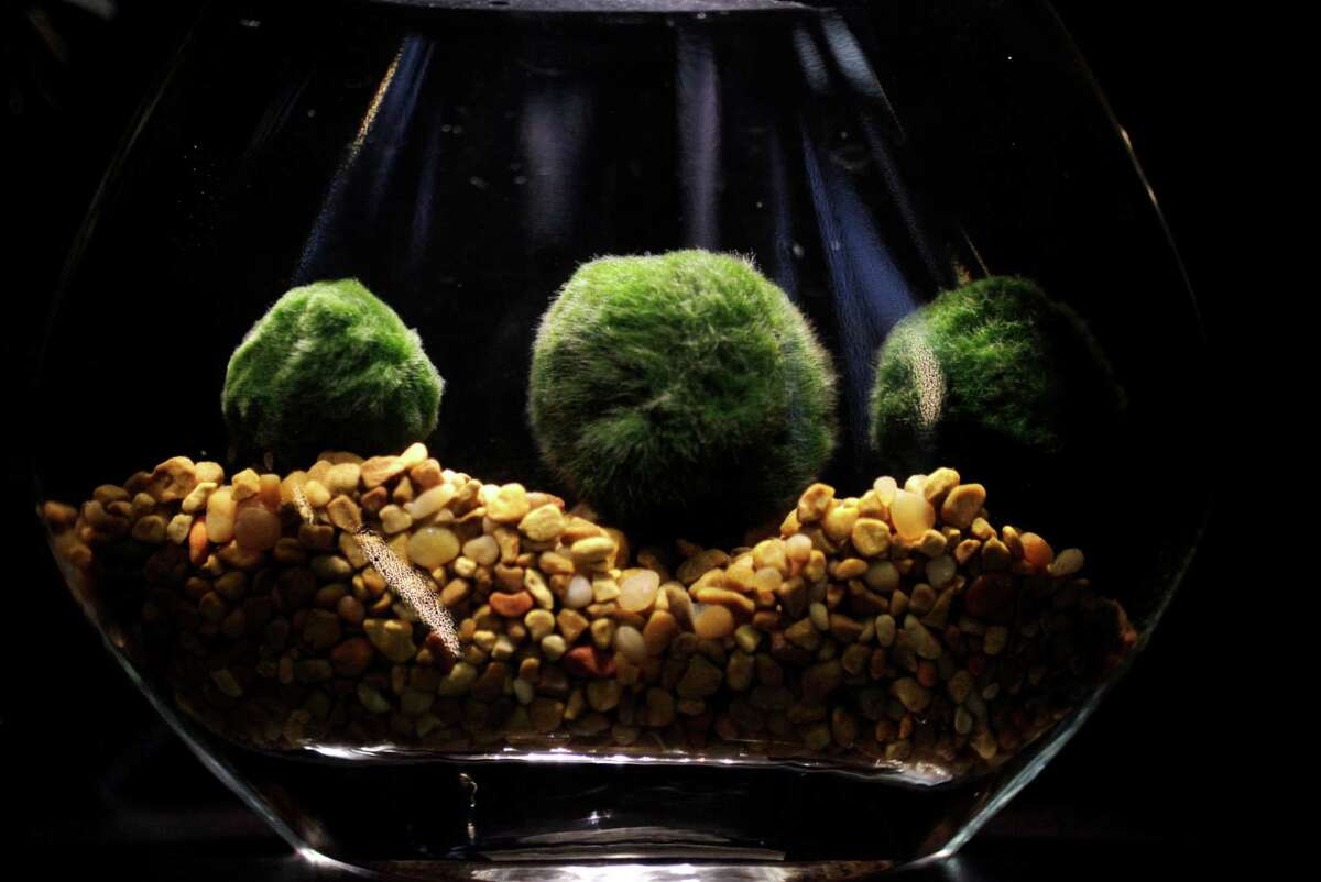 Marimo (fresh-water moss balls) in a tabletop water garden at Utsuwa Floral Design.