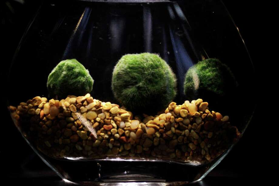 Marimo (fresh-water moss balls) in a tabletop water garden at Utsuwa Floral Design. Photo: Leah Millis / The Chronicle / ONLINE_YES