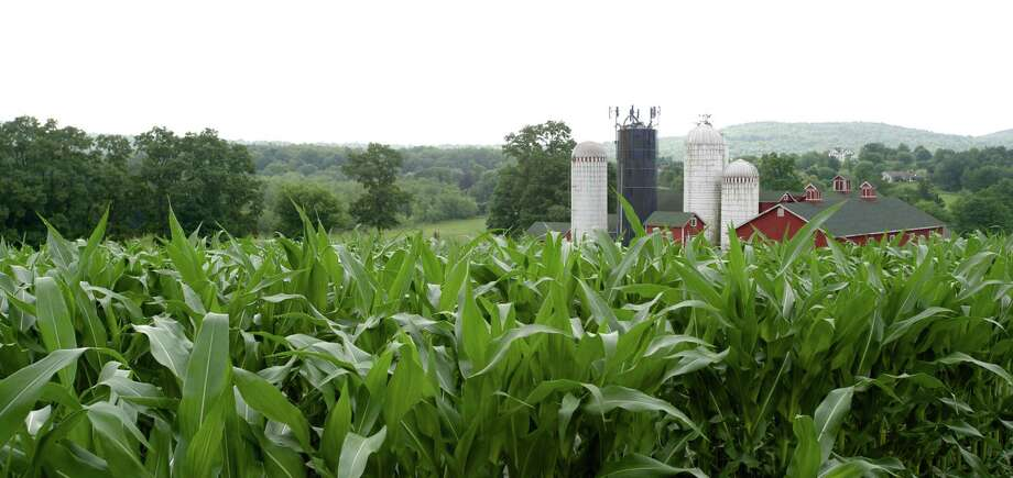 All the corn grown on Happy Acres Farm, in Sherman, Conn, is used to feed its herd of cattle. The farm property was bought by the town of Sherman in 2010.  Jeff Lescynski, 58, of Sherman, has been farming the property, and managing its herd of cattle, until a tenant farmer can be found for the farm. Tuesday, July 15, 2014. Photo: H John Voorhees III / The News-Times Freelance