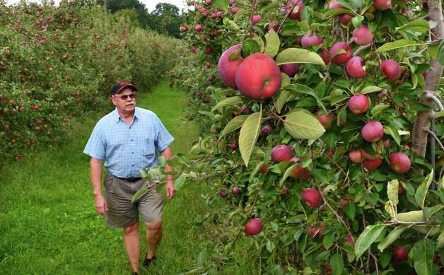 Goold Orchards owner Ed Miller checks on his crop of Cortland apples Friday Sept. 13, 2013, in Schodack, NY.  (John Carl D'Annibale / Times Union) Photo: John Carl D'Annibale / 00023868A