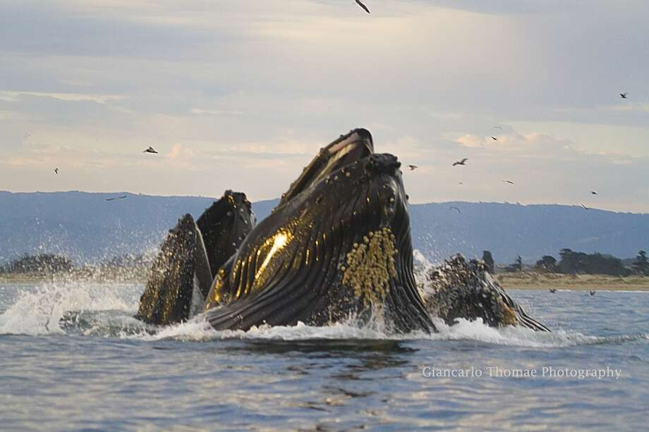 Three humpback whales lunge feed at sunset Photo: Giancarlo Thomae, Sanctuary Cruises