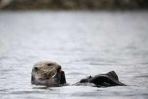 A sea otter floats on its back while eating a clam on the Elkhorn Slough