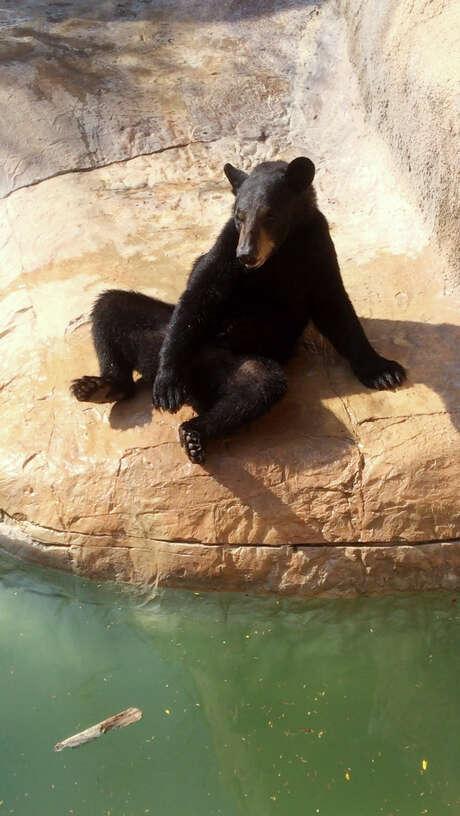 A bear named Oscar had a 15-minute taste of freedom Monday. Photo: Patricia Scanlan, HONS / Gladys Porter Zoo