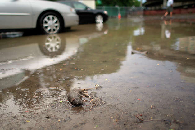 A rat died trying to find higher ground after flooding occurred after a storm, on Sheridan Avenue on Tuesday, August 5, 2014 in Albany, N.Y.  (Tom Brenner/ Special to the Times Union) Photo: Tom Brenner / ©Tom Brenner/ Albany Times Union
