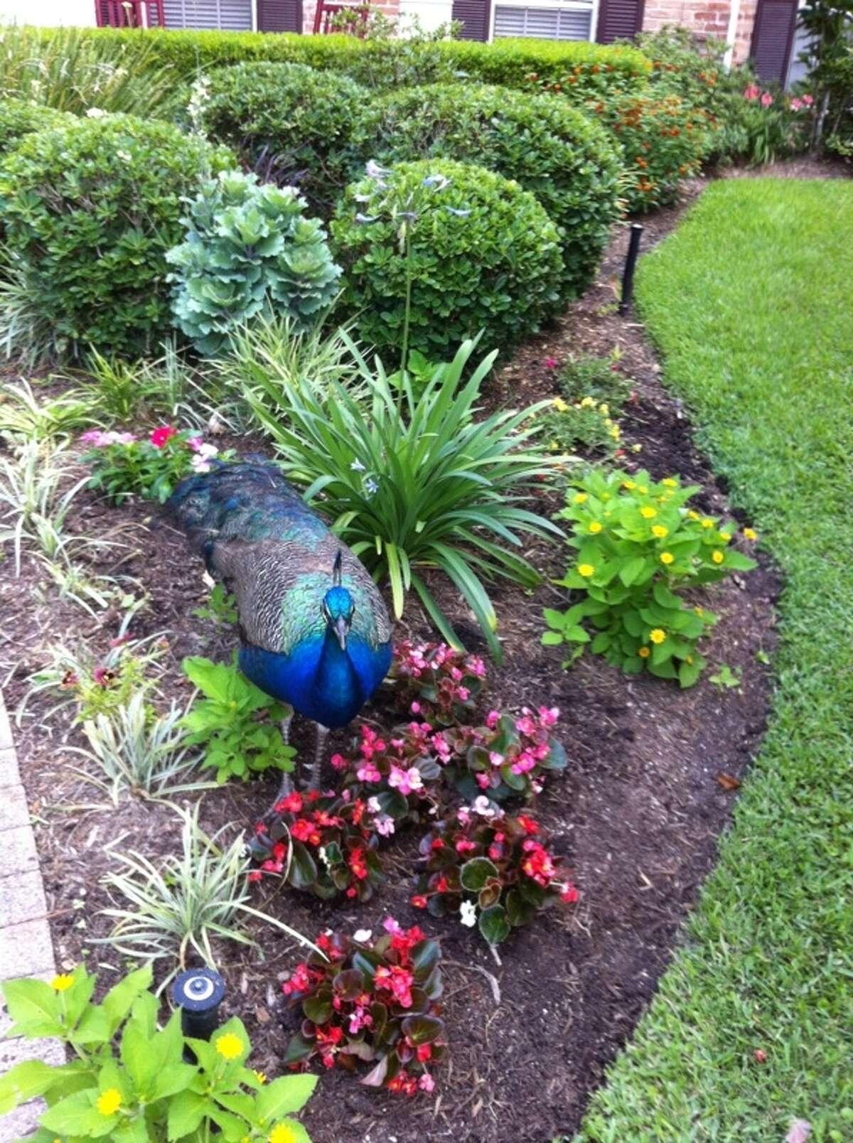 Feral peacock as garden ornament in Nottingham Forest.