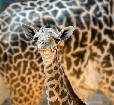 This new addition to the giraffe herd was born on August 3.  The female calf, who was born 6 feet tall and 132 pounds, has not yet been named. Photo: Houston Zoo