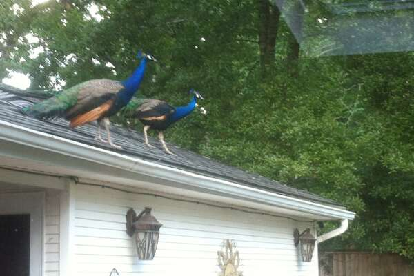 Peacocks gone wild - HoustonChronicle com