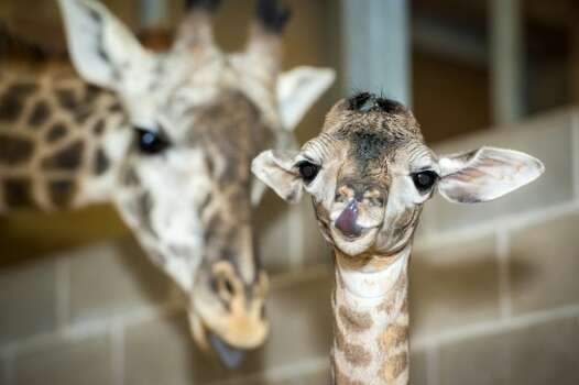 This male giraffe was born February 4 weighing in at 165 pounds and six and a half feet tall.  Zoo visitors named him Baridi after an online vote. Photo: Houston Zoo