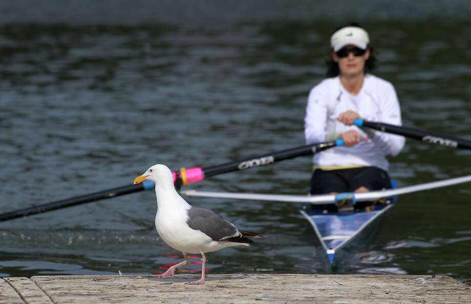 A seagull greets Renee De Cossio when she returns from sculling on Lake Merced in San Francisco, Calif. on Wednesday, Aug. 6, 2014. Despite improvements to the interior of the Lake Merced boathouse, the docks are still in need of renovation and the water quality is murky. Photo: Paul Chinn, The Chronicle
