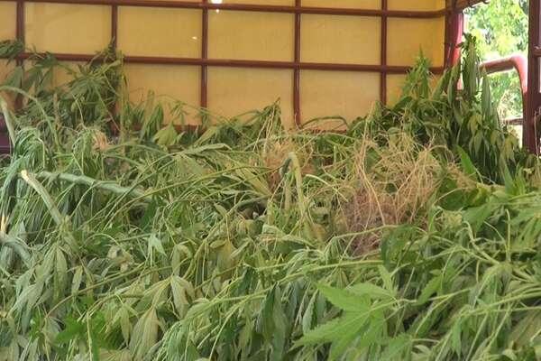 Massive Polk County marijuana farms may be connected