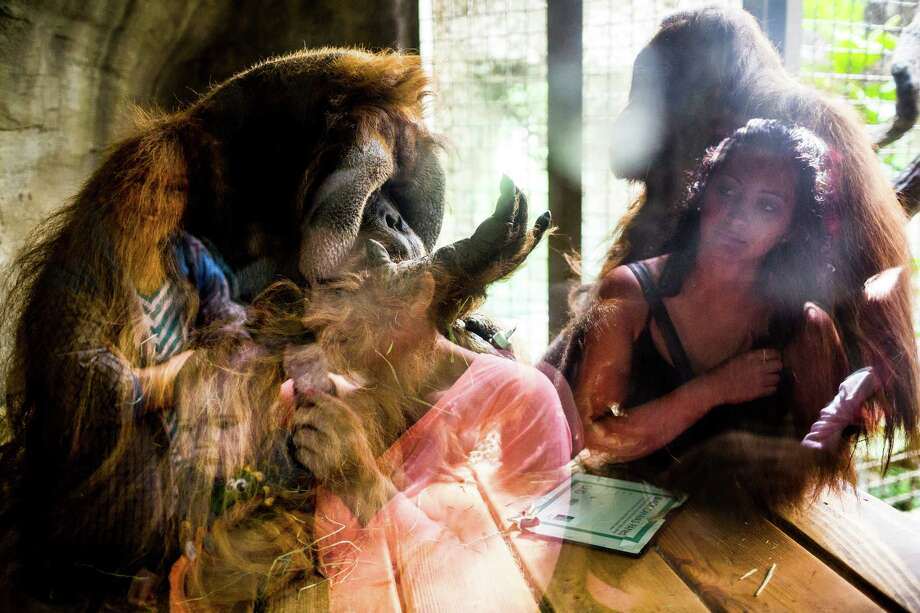 Woodland Park Zoo's 46-year-old male orangutan, Towan, brushes up on his painting skills to create original primate artwork Wednesday, August 6, 2014, in Seattle, Wash. The paintings will be raffled off during Woodland Park ZooÕs annual Asian Wildlife Conservation Day on Aug. 9, 2014. Photo: JORDAN STEAD, SEATTLEPI.COM / SEATTLEPI.COM
