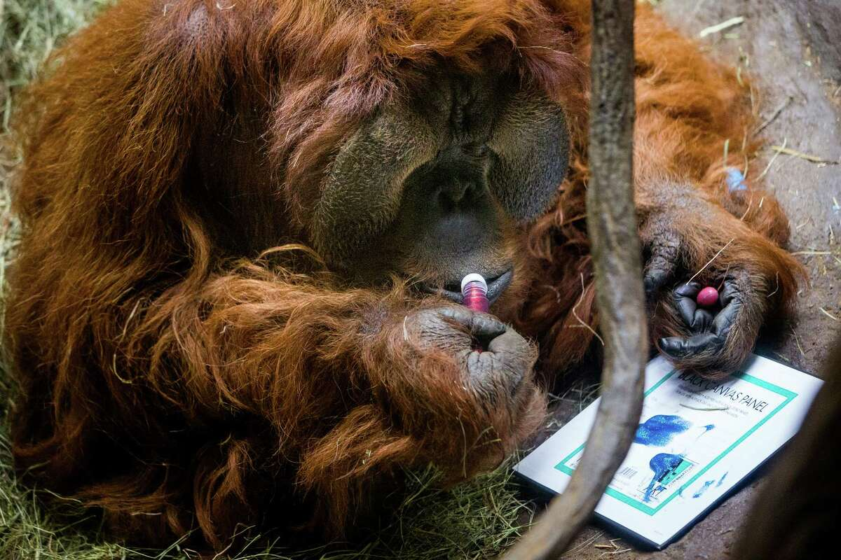 Woodland Park Zoo's 46-year-old male orangutan, Towan, brushes up on his painting skills to create original primate artwork Wednesday, August 6, 2014, in Seattle, Wash. The paintings will be raffled off during Woodland Park Zoo?•s annual Asian Wildlife Conservation Day on Aug. 9, 2014.