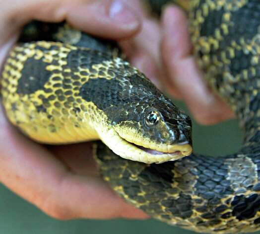 Park educator Rebecca Mullins holds a badly injured adult female eastern hognose snake that she has been nursing back to health at the Moreau Lake State Park nature center Friday August 1, 2014, in Gansevoort, NY.   (John Carl D'Annibale / Times Union) Photo: John Carl D'Annibale / 00028006A