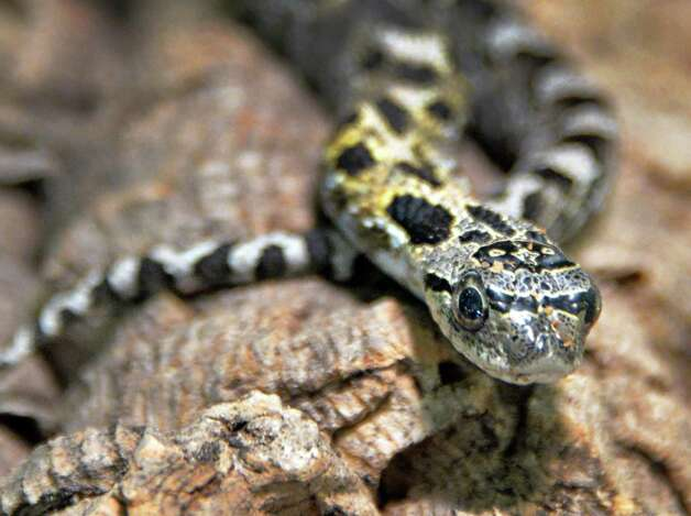 A healthy 1-year-old female eastern hognose snake at the Moreau Lake State Park nature center Friday August 1, 2014, in Gansevoort, NY.   (John Carl D'Annibale / Times Union) Photo: John Carl D'Annibale / 00028006A