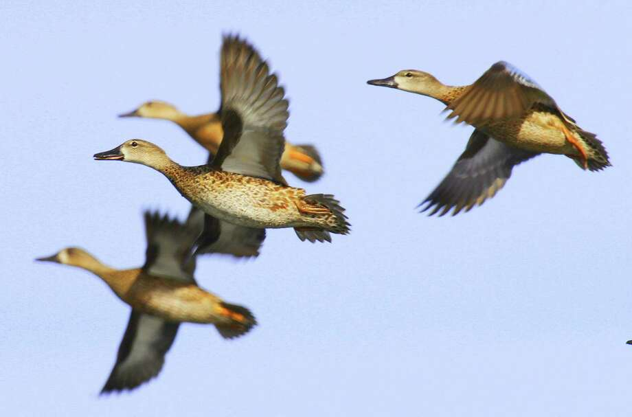 Blue-winged teal numbers are at near records this spring and 75 percent above their 1955-2013 average. Photo: Picasa