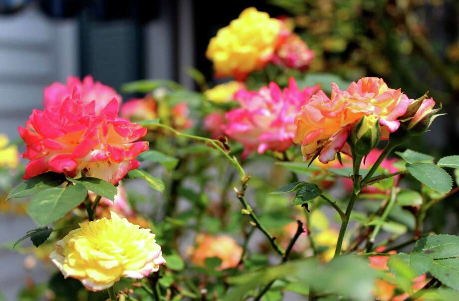 Rainbowa€™s End Miniature Roses bloom in Kathy Hartleya€™s home garden on Monday, June 30, 2014, in Troy N.Y. (Selby Smith / Special to the Times Union) Photo: Selby Smith / 00027511A
