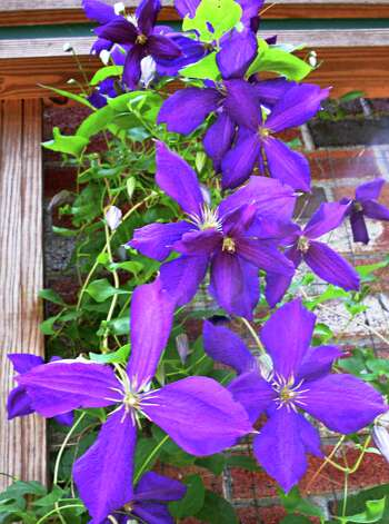 Clematis in bloom in Tony and Judy Eastwood's front yard garden Wednesday July 2, 2014, at their home in Saratoga Springs, NY.  (John Carl D'Annibale / Times Union) Photo: John Carl D'Annibale / 00027577A