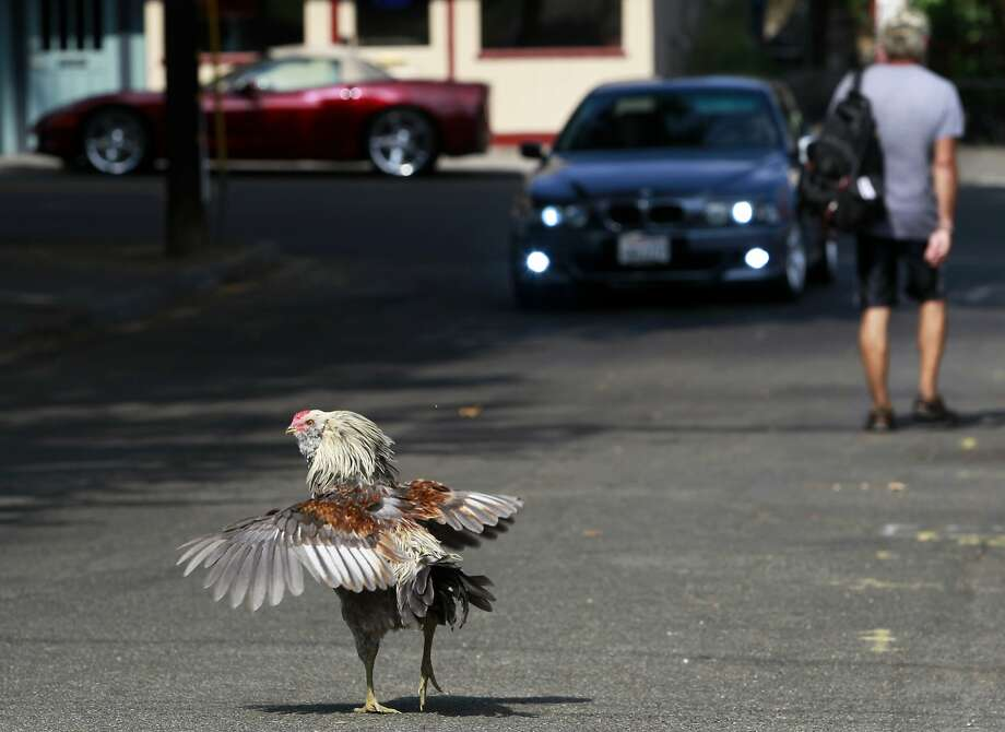 Wild chickens have the run of Fair Oaks (Sacramento County), where one crosses the road, above, and others, below, forage in Village Park. Photo: Paul Chinn, The Chronicle